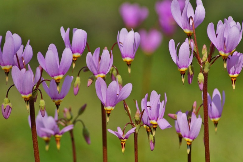 Shooting Stars - A popular wildflower along Lake Tahoe hiking trails